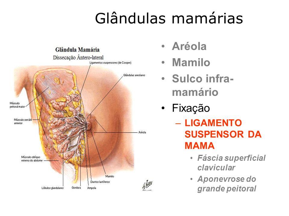 Glândulas mamárias Aréola Mamilo Sulco infra-mamário Fixação