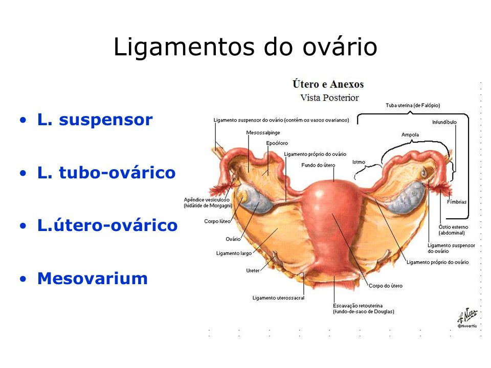 Ligamentos do ovário L. suspensor L. tubo-ovárico L.útero-ovárico