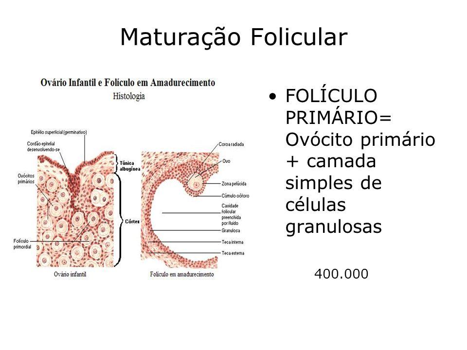 Maturação Folicular FOLÍCULO PRIMÁRIO= Ovócito primário + camada simples de células granulosas.