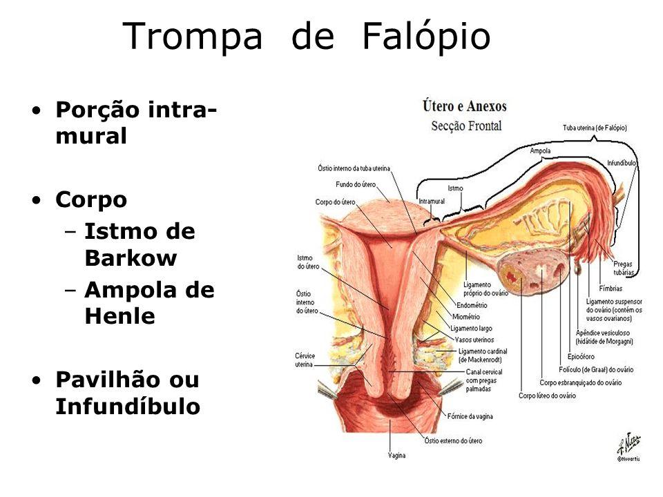 Trompa de Falópio Porção intra-mural Corpo Istmo de Barkow
