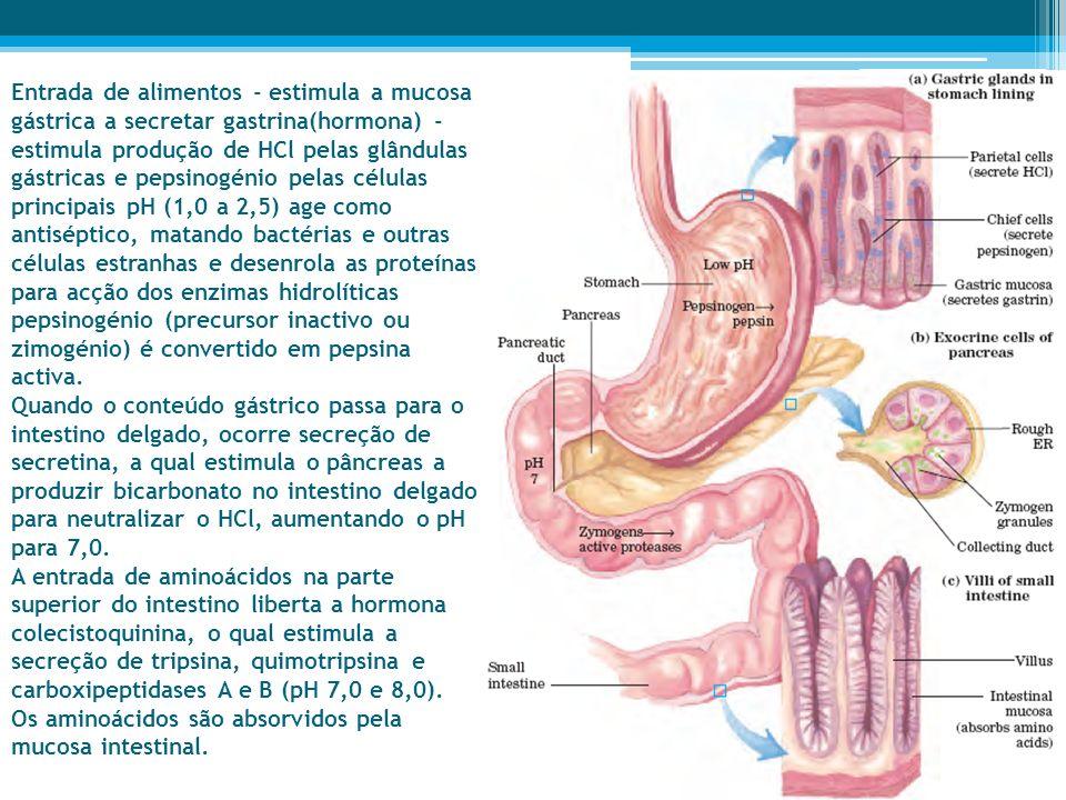Entrada de alimentos - estimula a mucosa gástrica a secretar gastrina(hormona) -estimula produção de HCl pelas glândulas gástricas e pepsinogénio pelas células principais pH (1,0 a 2,5) age como antiséptico, matando bactérias e outras células estranhas e desenrola as proteínas para acção dos enzimas hidrolíticas pepsinogénio (precursor inactivo ou zimogénio) é convertido em pepsina activa.