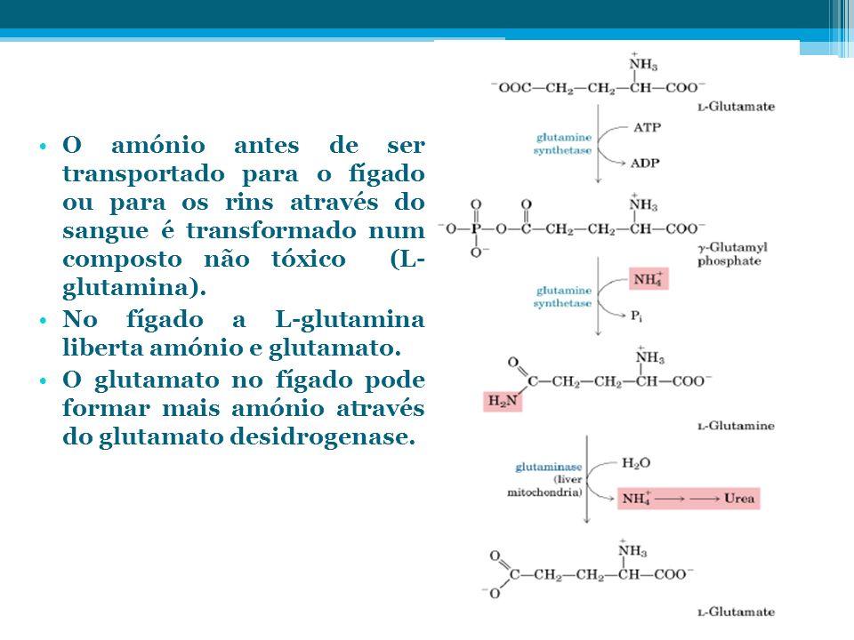 O amónio antes de ser transportado para o fígado ou para os rins através do sangue é transformado num composto não tóxico (L- glutamina).