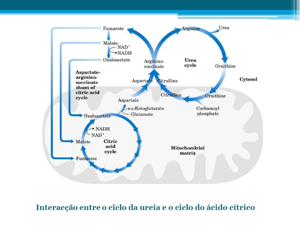 Interacção entre o ciclo da ureia e o ciclo do ácido cítrico