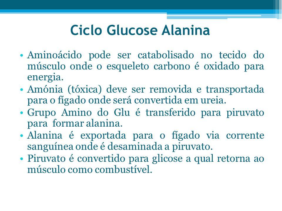 Ciclo Glucose AlaninaAminoácido pode ser catabolisado no tecido do músculo onde o esqueleto carbono é oxidado para energia.