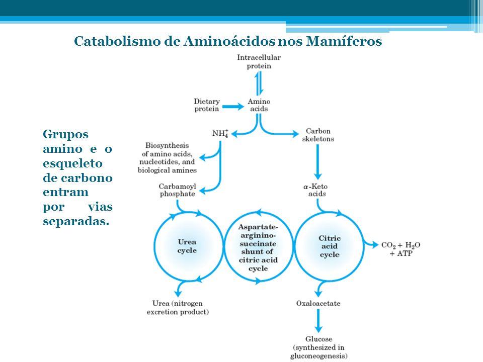 Catabolismo de Aminoácidos nos Mamíferos