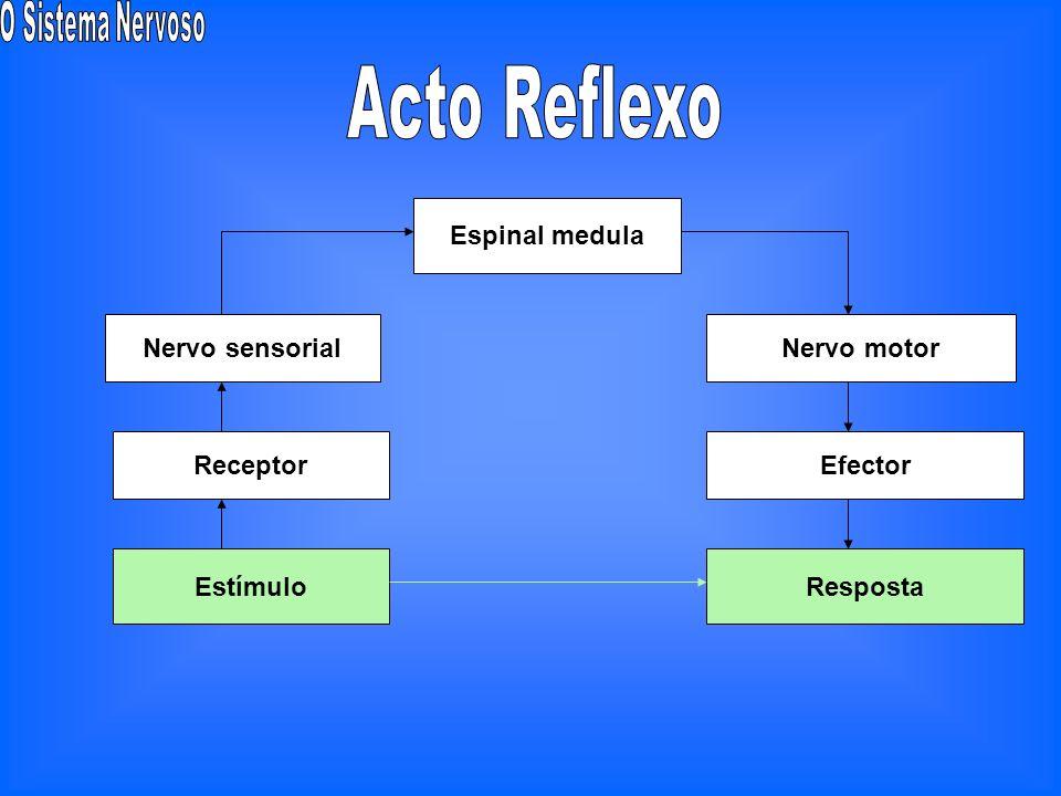 Acto Reflexo Espinal medula Nervo sensorial Nervo motor Receptor