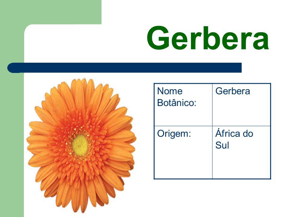 Gerbera Nome Botânico: Gerbera Origem: África do Sul