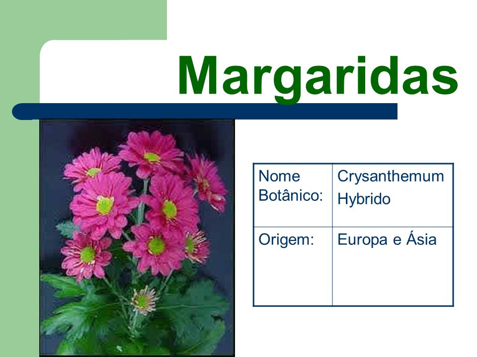 Margaridas Nome Botânico: Crysanthemum Hybrido Origem: Europa e Ásia