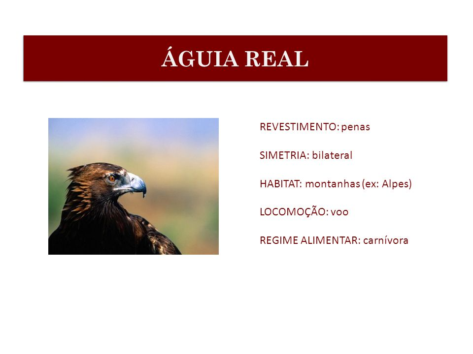 ÁGUIA REAL REVESTIMENTO: penas SIMETRIA: bilateral