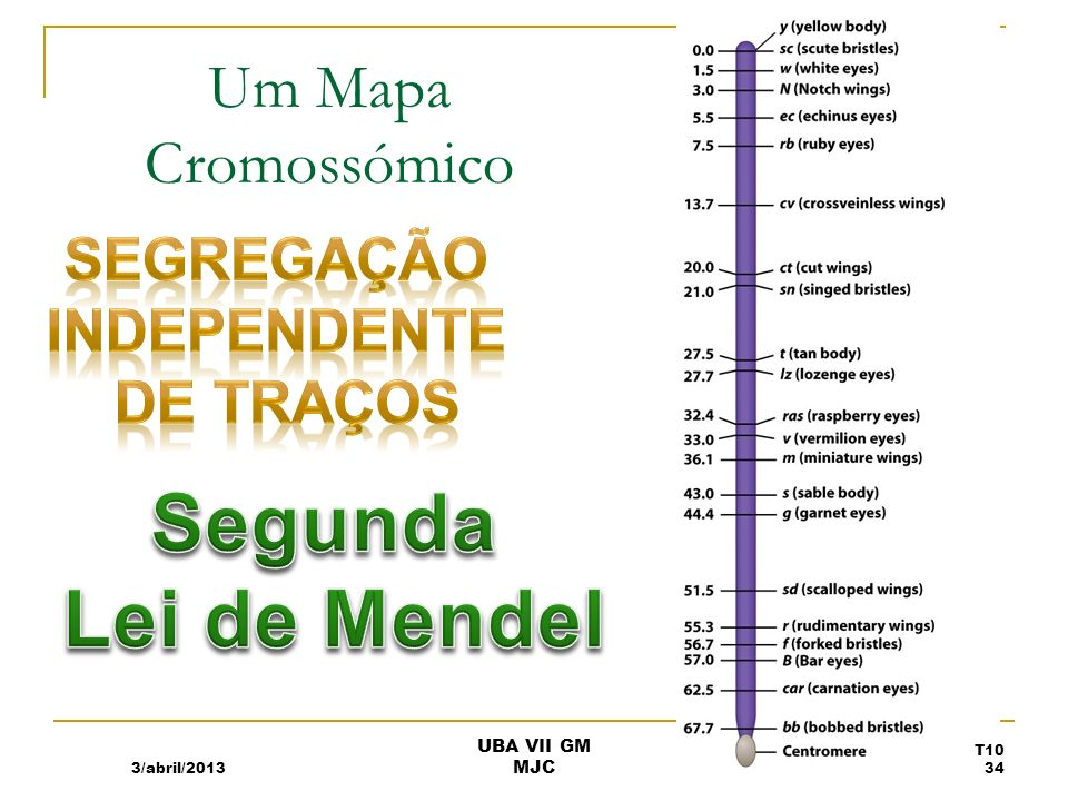 Segunda Lei de Mendel Um Mapa Cromossómico Segregação independente