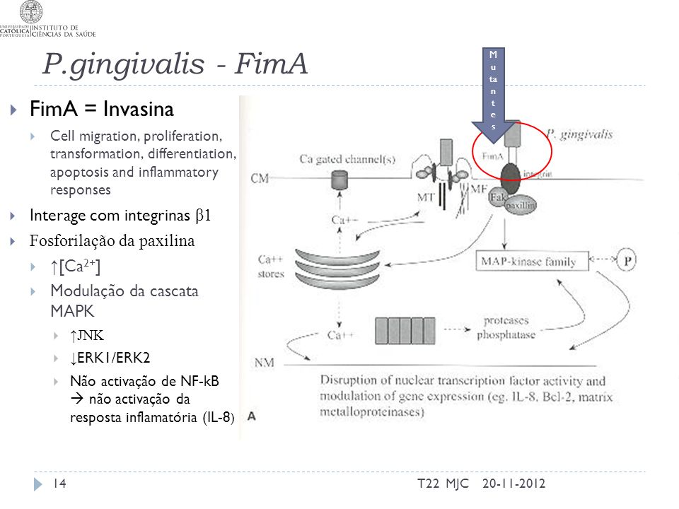 P.gingivalis - FimA FimA = Invasina Interage com integrinas β1