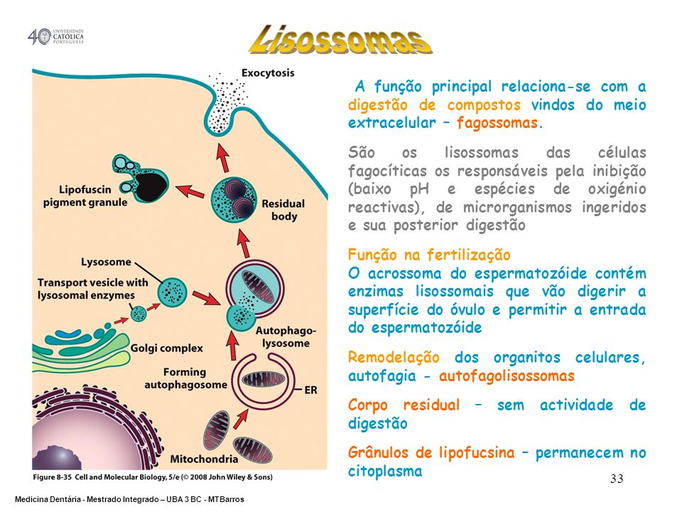 Lisossomas A função principal relaciona-se com a digestão de compostos vindos do meio extracelular – fagossomas.