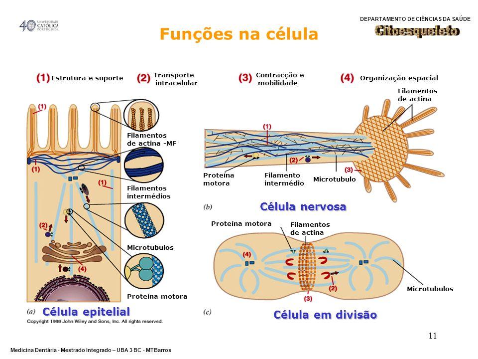 Funções na célula Citoesqueleto Célula nervosa Célula epitelial