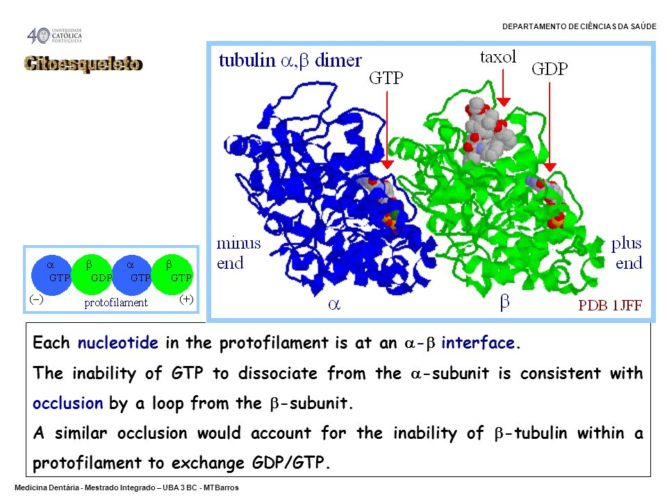 CitoesqueletoEach nucleotide in the protofilament is at an - interface.