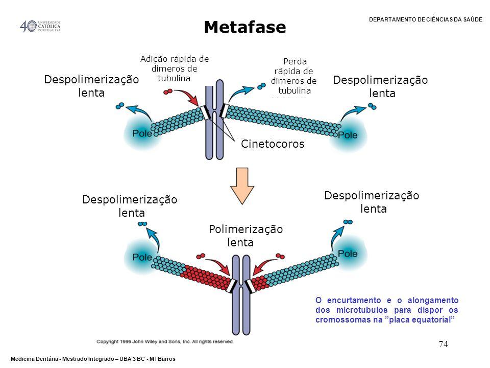 Metafase Despolimerização lenta Cinetocoros Polimerização lenta