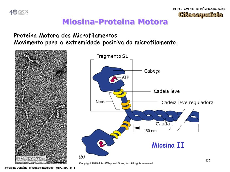 Miosina-Proteina Motora