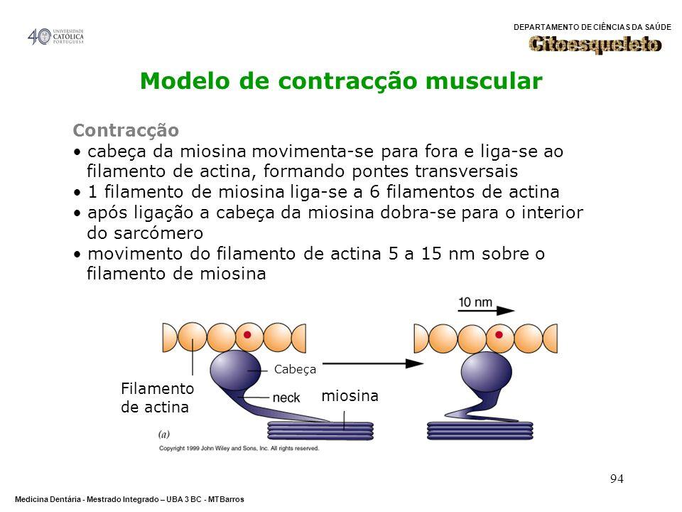 Modelo de contracção muscular
