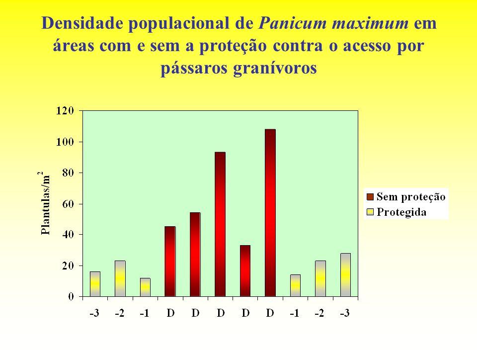 Densidade populacional de Panicum maximum em áreas com e sem a proteção contra o acesso por pássaros granívoros