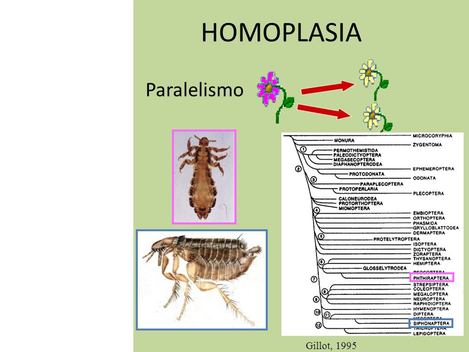 HOMOPLASIA Paralelismo Gillot, 1995