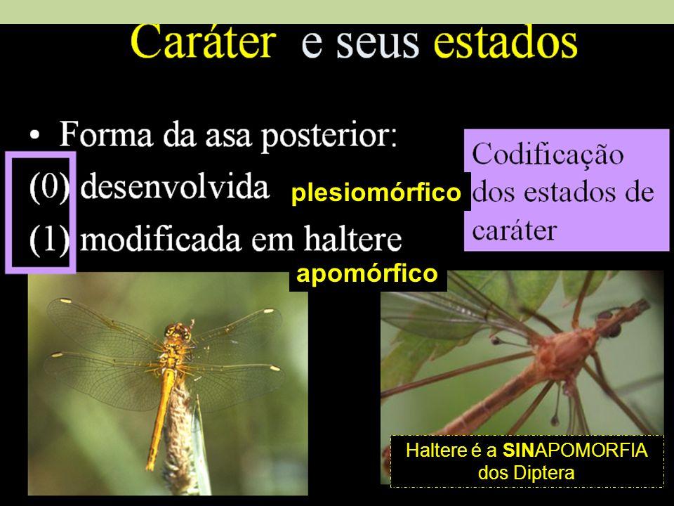 Haltere é a SINAPOMORFIA dos Diptera