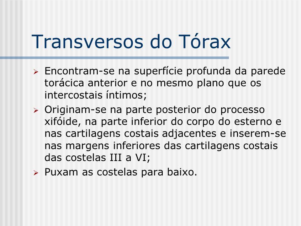 Transversos do Tórax Encontram-se na superfície profunda da parede torácica anterior e no mesmo plano que os intercostais íntimos;