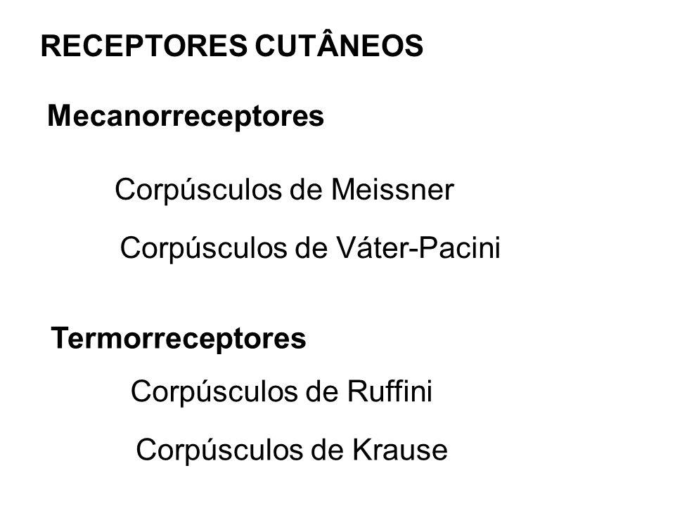 RECEPTORES CUTÂNEOSMecanorreceptores. Corpúsculos de Meissner. Corpúsculos de Váter-Pacini. Termorreceptores.