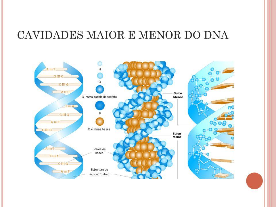 CAVIDADES MAIOR E MENOR DO DNA