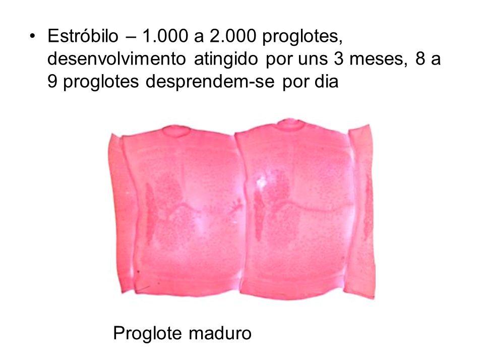 Estróbilo – 1.000 a 2.000 proglotes, desenvolvimento atingido por uns 3 meses, 8 a 9 proglotes desprendem-se por dia