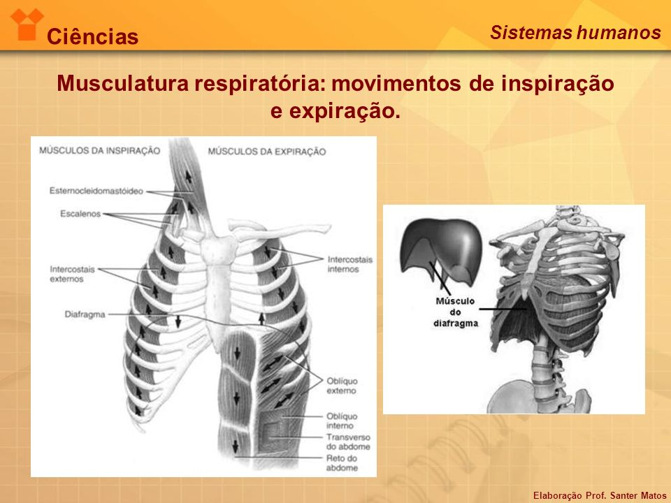 Musculatura respiratória: movimentos de inspiração