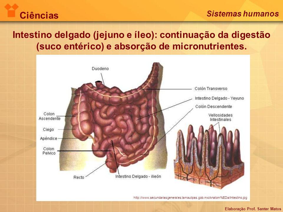 Ciências Sistemas humanos. Intestino delgado (jejuno e íleo): continuação da digestão (suco entérico) e absorção de micronutrientes.