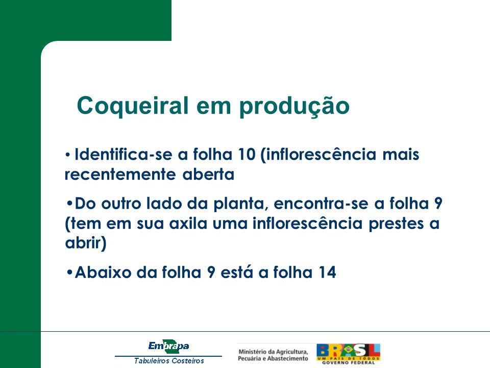 Coqueiral em produçãoIdentifica-se a folha 10 (inflorescência mais recentemente aberta.