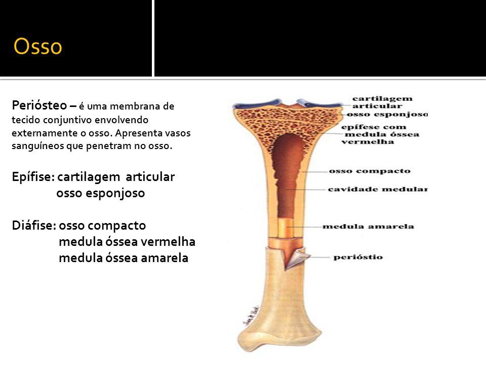 Osso Periósteo – é uma membrana de tecido conjuntivo envolvendo externamente o osso. Apresenta vasos sanguíneos que penetram no osso.