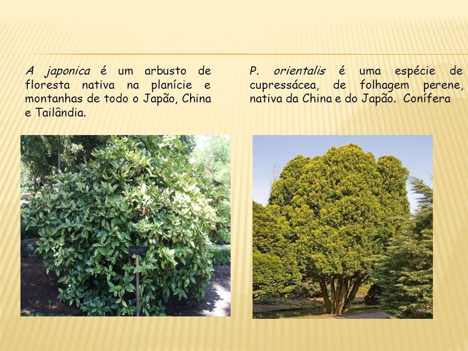 A japonica é um arbusto de floresta nativa na planície e montanhas de todo o Japão, China e Tailândia.