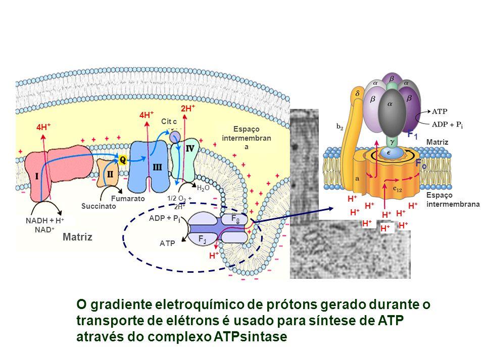NADH + H+ NAD+Succinato. Fumarato. Matriz. ADP + Pi. ATP. H2O. 1/2 O2 + 2H+ Cit c. Espaço intermembrana.