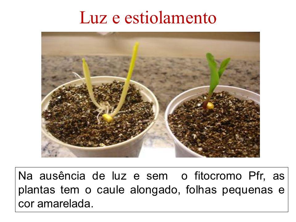 Luz e estiolamento Na ausência de luz e sem o fitocromo Pfr, as plantas tem o caule alongado, folhas pequenas e cor amarelada.