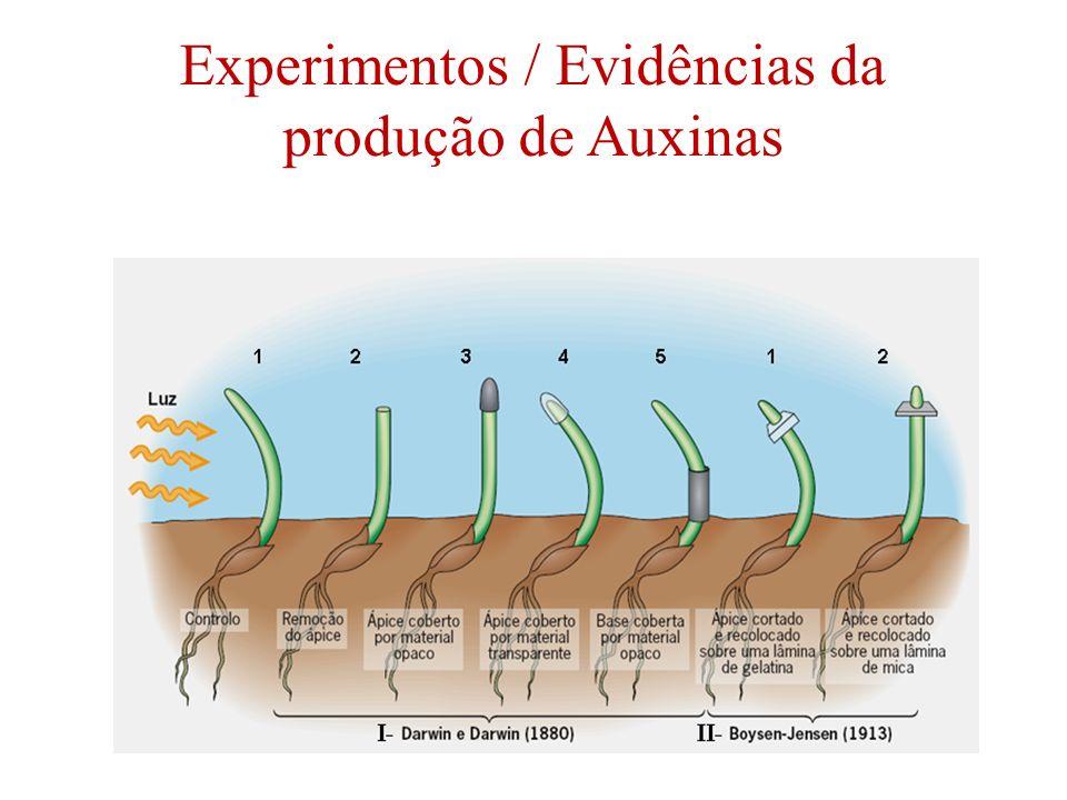 Experimentos / Evidências da produção de Auxinas