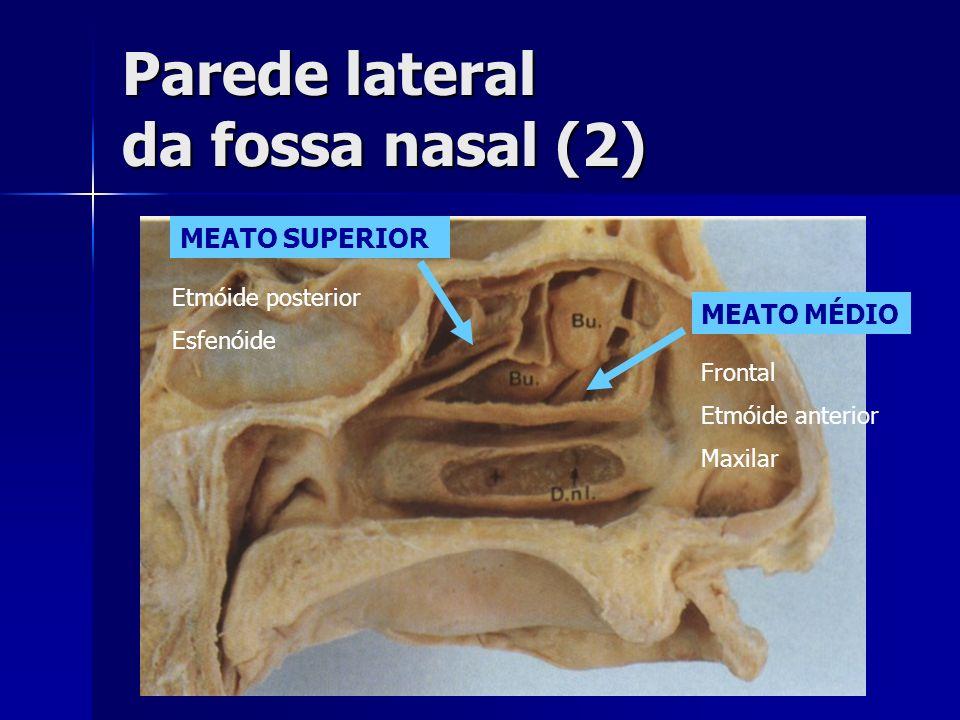 Parede lateral da fossa nasal (2)