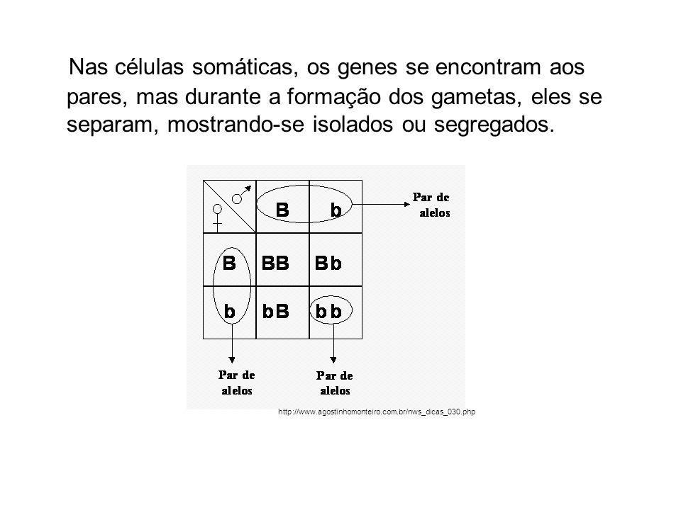 Nas células somáticas, os genes se encontram aos pares, mas durante a formação dos gametas, eles se separam, mostrando-se isolados ou segregados.