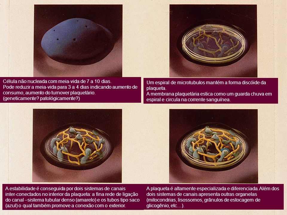 Célula não nucleada com meia-vida de 7 a 10 dias.