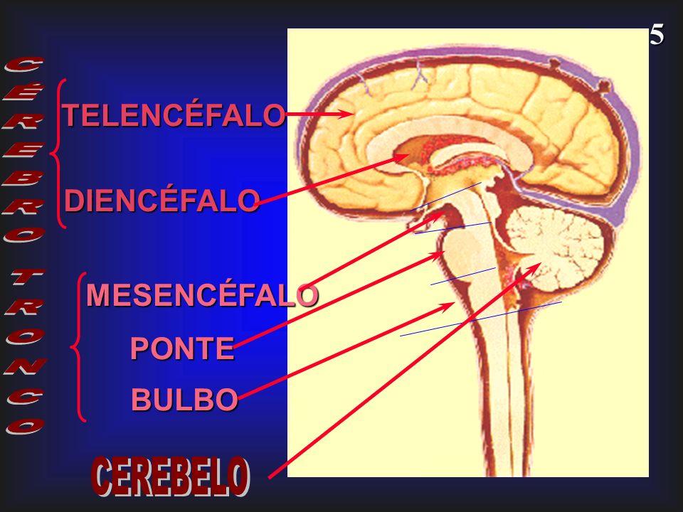 TELENCÉFALO CÉREBRO DIENCÉFALO MESENCÉFALO TRONCO PONTE BULBO CEREBELO
