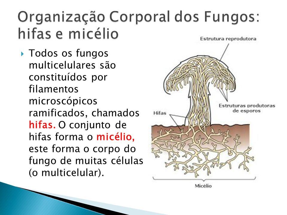 Organização Corporal dos Fungos: hifas e micélio