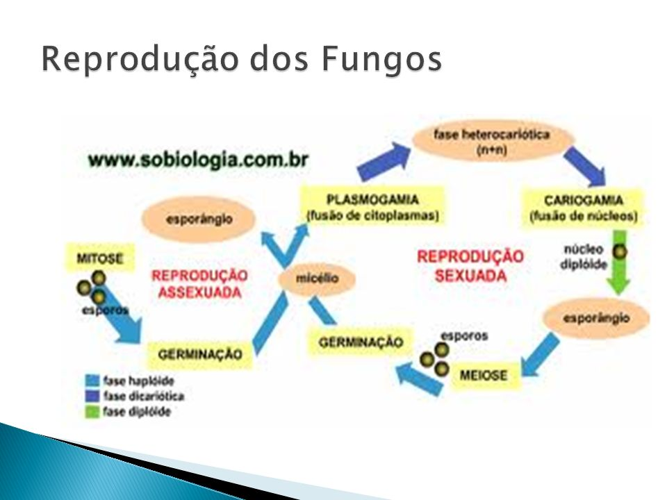 Reprodução dos Fungos