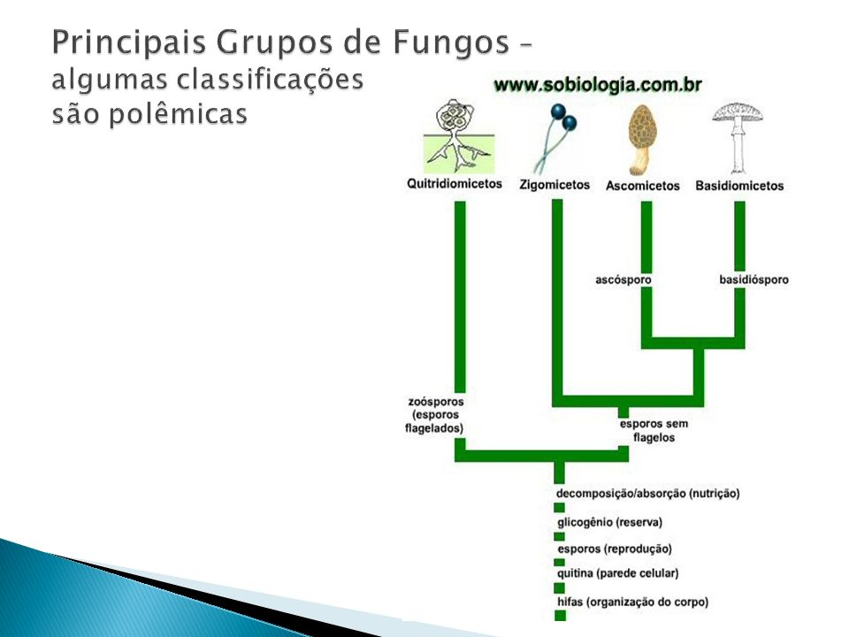 Principais Grupos de Fungos – algumas classificações são polêmicas