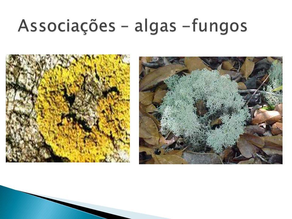 Associações – algas -fungos