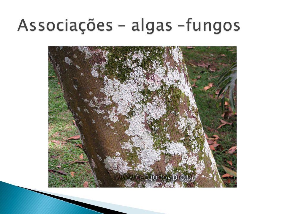 Associações – algas –fungos