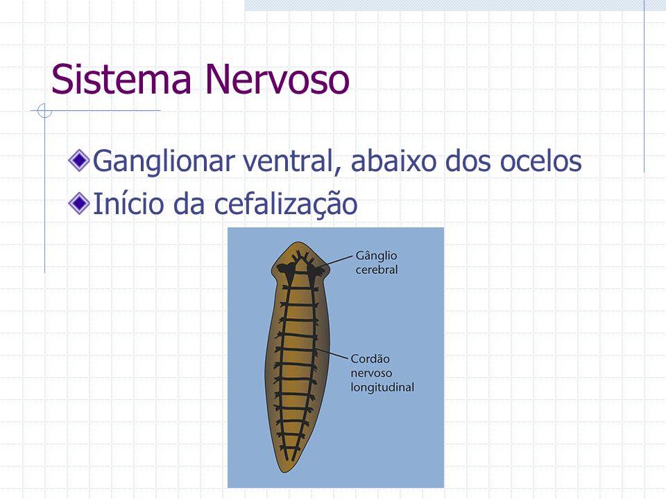 Sistema Nervoso Ganglionar ventral, abaixo dos ocelos