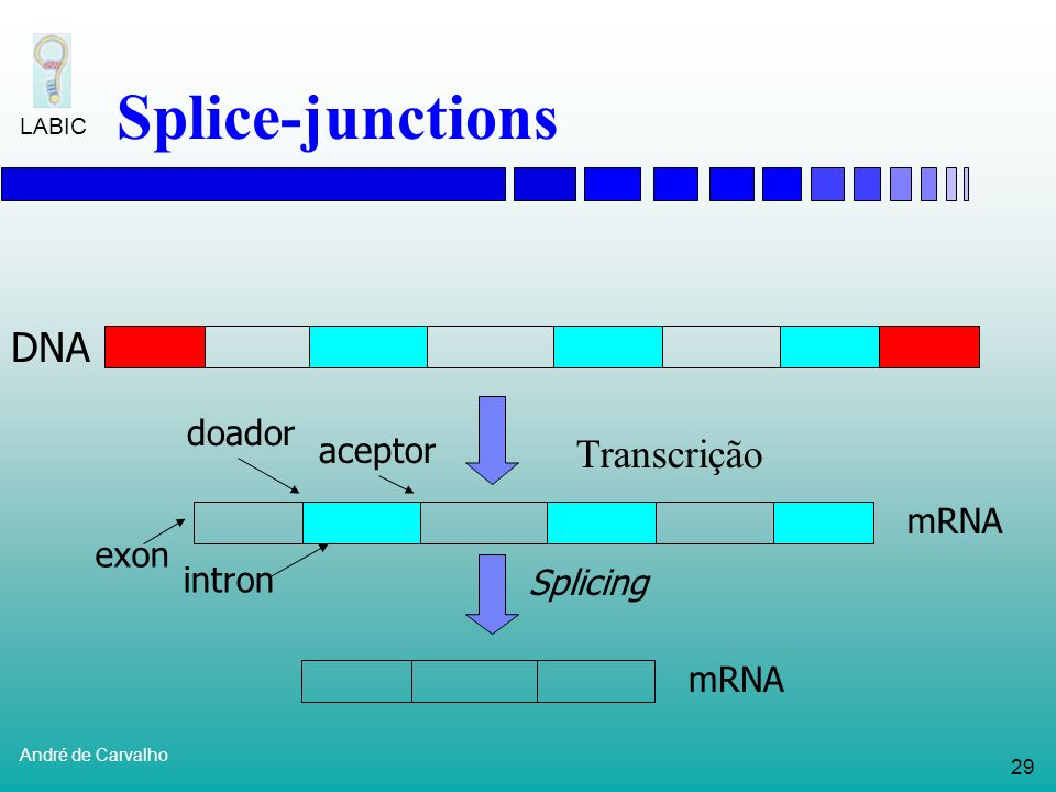 Splice-junctions DNA Transcrição doador aceptor mRNA exon intron