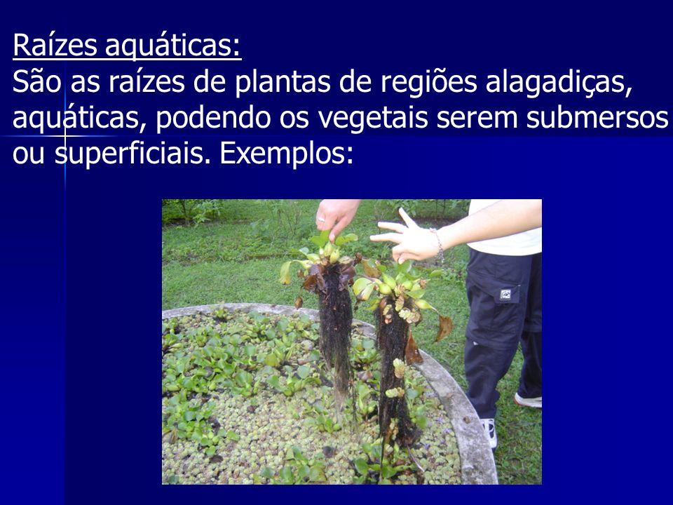 Raízes aquáticas: São as raízes de plantas de regiões alagadiças, aquáticas, podendo os vegetais serem submersos ou superficiais.