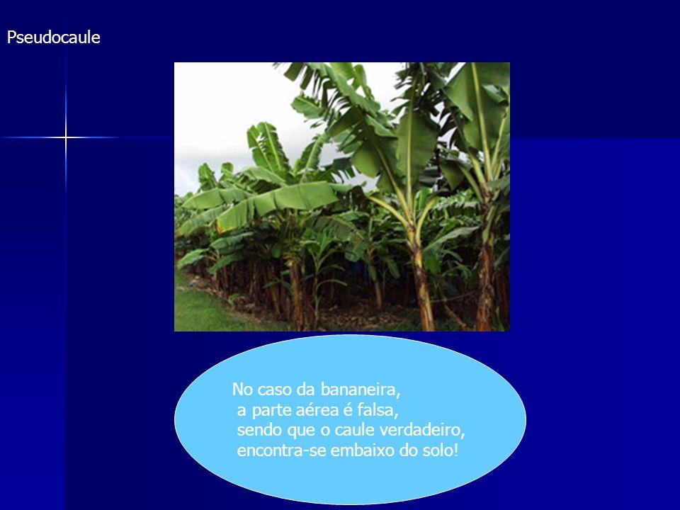 Pseudocaule No caso da bananeira, a parte aérea é falsa, sendo que o caule verdadeiro, encontra-se embaixo do solo!