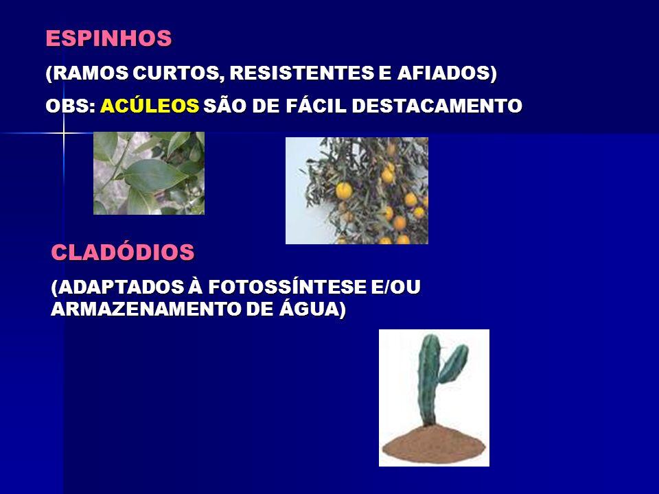 ESPINHOS CLADÓDIOS (RAMOS CURTOS, RESISTENTES E AFIADOS)